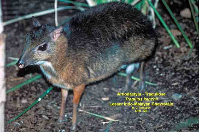 Side view, limbs and feet visible, female.  Also as Lesser Mouse-deer.
