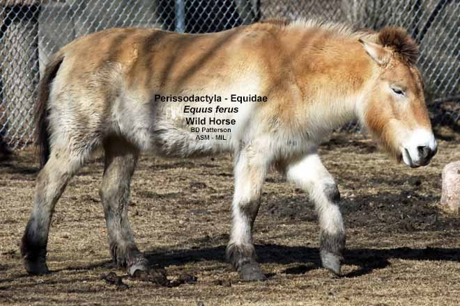 Lateral view of walking adult in winter pelage.  Also as Equus caballus przewalskii or Equus ferus przewalskii, Takhi.