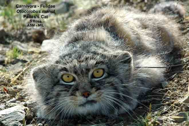 Frontal view of face.  Also as Felis manul.  On cover of Journal of Mammalogy 93(5)