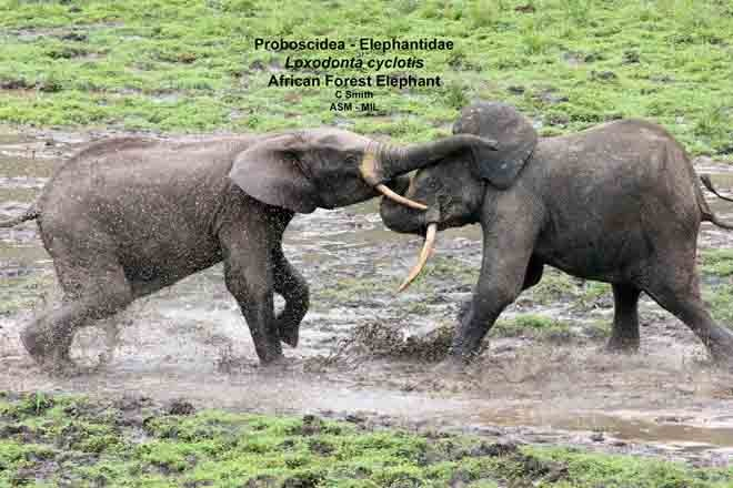 Formerly Loxodonta africana cyclotis.  Young males fighting.