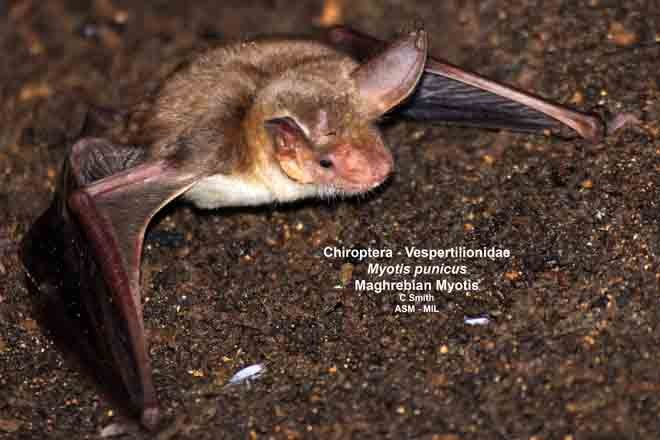 Also as Maghrebian Mouse-eared Bat