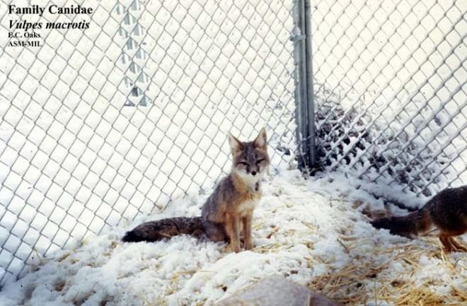 Vulpes macrotis - #269 | American Society of Mammalogists