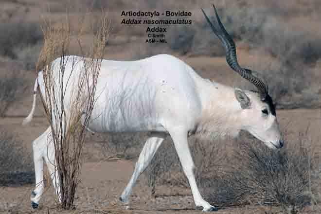 Male in velvet.  Formerly as Cervus eldii thamin or Rucervus eldii thamin, Eld's Deer.