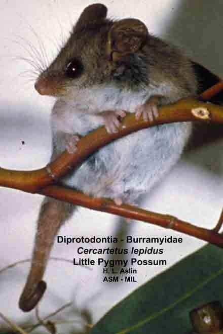 Burramys - Wikipedia