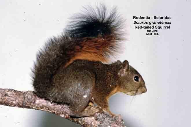 Captured in Venezuela, Aragua state, Henri Pittier National Park.  Also as Notosciurus granatensis.