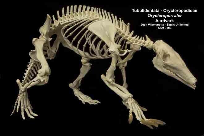 Lateral view of skeleton walking.
