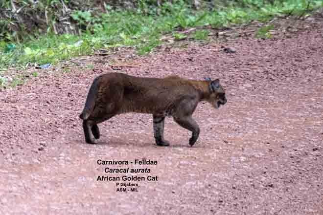 Formerly Profelis aurata.  For similar images go to www.atourworld.com.