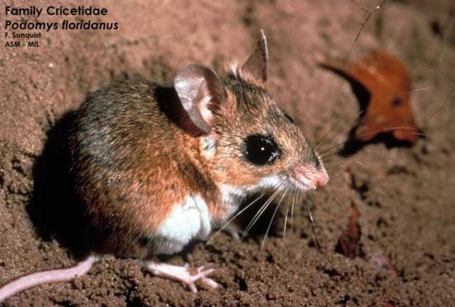 Podomys Floridanus Florida Mouse Hesperomys Floridanus