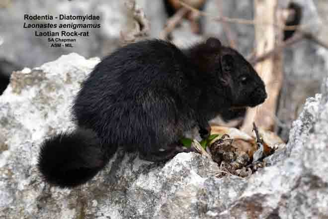 Also as Kha-nyou.  Melanistic individual.